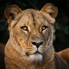 Lvice Lva Konžského (Panthera leo bleyenberghi)