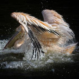 Vodní hrátky - Pelikán bílý (Pelecanus onocrotalus)