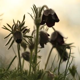 Koniklec luční český (Pulsatilla pratensis subsp.nigrans)