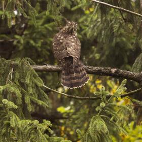 Jestřáb lesní