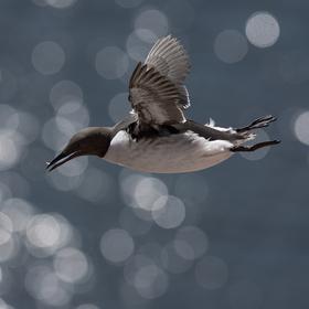 Letící ryba