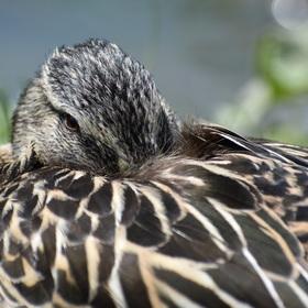 Kachní odpočinek