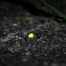 Světluška větší (samička)