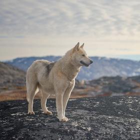 Grónský pes