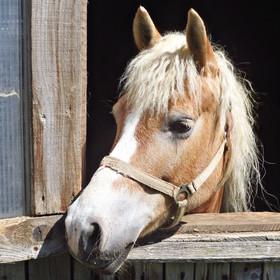Rakouský koník