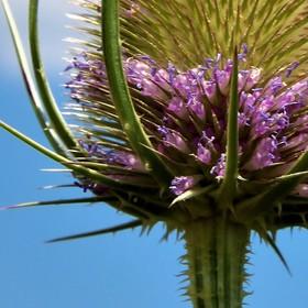 Štětka lesní - Přírodní lék na boreliozu