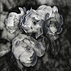 Divoká růže - fotografika