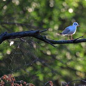 Racek a pavučina