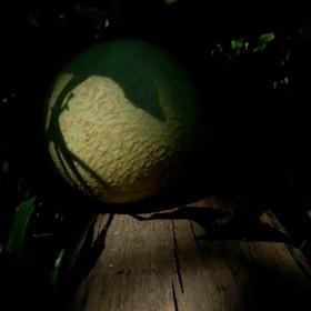 Částečné zatmění cukrového melounu