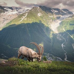 Kozorožec alpský (Capra ibex ibex) na letní pastvě