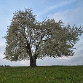 Čerešňa v kvete