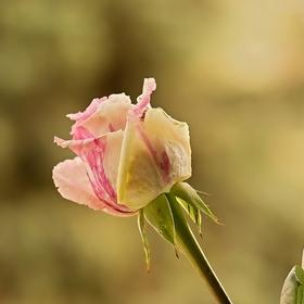 královna květin...