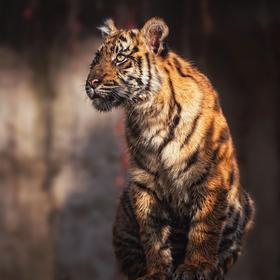 Mládé tygřice sumaterské