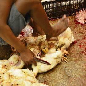 Vraždění kuřat