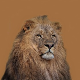 Lev konžský v Zoo Lešná