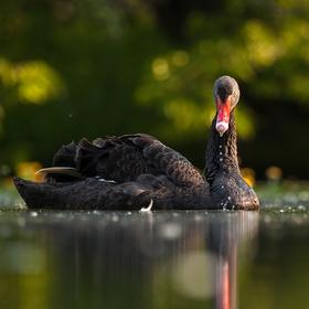 Labuť černá