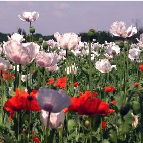 Když kvetly máky