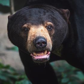 Medvěd malajský (Helarctos malayanus)