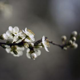 Jarní pučení