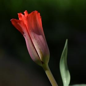 Poupě tulipánu