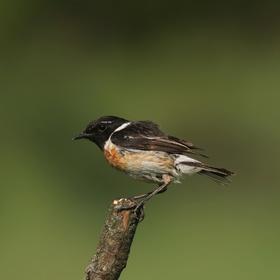 Bramborníček černohlavý (Saxicola rubicola)