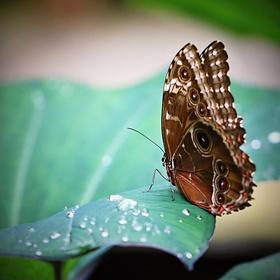 Motýl s rosou