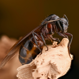 Mravčia kráľovná