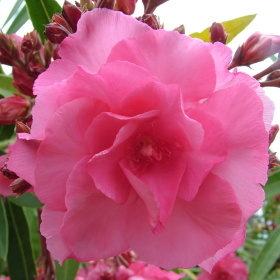 Květ Oleandru