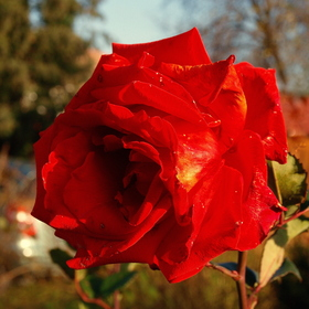 RED ROSE III.