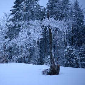 Zimní bonsai