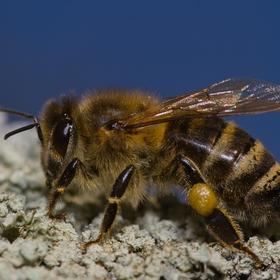 První jarní včelka v mém objektivu
