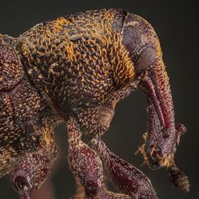 Hylobius abietis (Klikoroh borový) III.