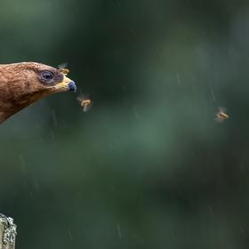 Včelojed lesní (Pernis apivorus) mladý pták