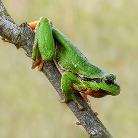 Rosnička zelená (též rosnička stromová; Hyla arborea)