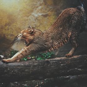 Kočka bažinná (Felis chaus)