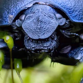 Modrý lesní brouk - Anoplotrupes stercorosus