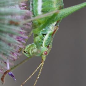 Kobylka bělopruhá (Leptophyes albovittata)