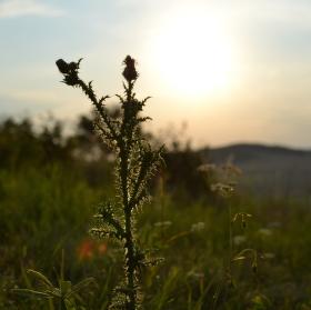 Bodlák v západu slunce