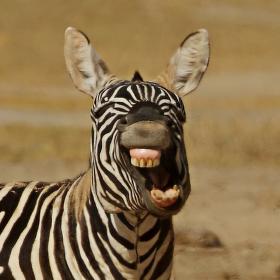 vysmátá zebra