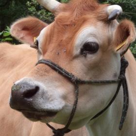 Kráva Jersey