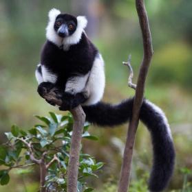 Lemur v dešti