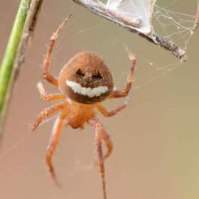 Pavouk obličej