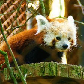 Panda červená v Brněnské zoo