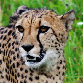 Gepard :D