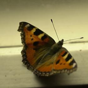 Motýl na okně