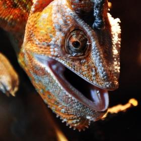 Nas*aný chameleon