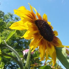 Zahradní slunečnice
