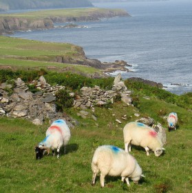 DISCO ovce