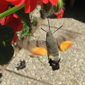 """""""Kolibřík"""" v řádu hmyzu - potvůrka dlouhozobka svízelová"""