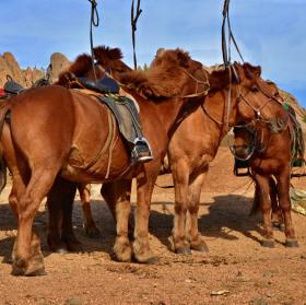 Koně pro turisty